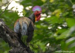 Ayamhutan Hijau | Green Junglefowl | Gallus varius