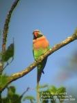 Betet Biasa | Red-breasted Parakeet | Psittacula alexandri