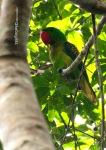 Betet-Kelapa Paruh-Besar | Great-billed Parrot | Tanygnathus megalorynchos