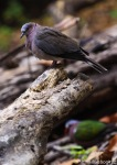 Dederuk Jawa | Collared Island Dove | Streptopelia bitorquata