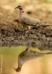 Dederuk Jawa   Collared Island Dove   Streptopelia bitorquata