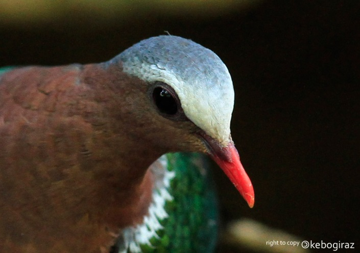 Delimukan Zamrud   Common Emerald Dove   Chalcophaps indica