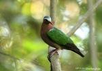 Delimukan Zamrud | Common Emerald Dove | Chalcophaps indica