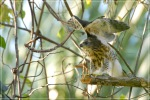 Elangalap Jambul | Crested Goshawk | Accipiter trivirgatus