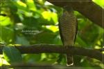 Elangalap Nipon | Japanese Sparrowhawk | Accipiter gularis
