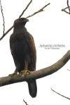 Elang Brontok | Changeable Hawk-Eagle | Nisaetus cirrhatus