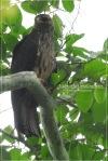 Elang Hitam | Black Eagle | Ictinaetus malayensis