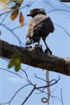 Elangular Bido | Crested Serpent Eagle | Spilornis cheela