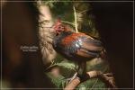 Ayamhutan Merah | Red Junglefowl | Gallus gallus