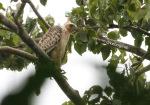 Elang Jawa | Javan Hawk-Eagle | Nisaetus bartelsi