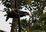 Julang Sumba | Sumba Hornbill | Rhyticeros everetti