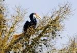 Julang Emas | Wreathed Hornbill | Rhyticeros undulatus