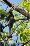 Kangkareng Perut-putih | Oriental Pied Hornbill | Anthracoceros albirostris