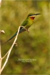 Kirikkirik Laut   Blue-tailed Bee-eater   Merops philippinus