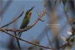 Kirikkirik Laut | Blue-tailed Bee-eater | Merops philippinus