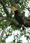 Enggang Cula | Rangkong Badak, Rhinoceros Hornbill | Buceros rhinoceros