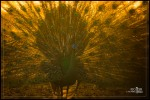 Merak Hijau | Green Peafowl | Pavo muticus