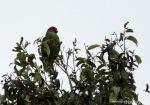 Nuri Pipi Merah | Red-cheeked Parrot | Geoffroyus geoffroyi