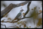 Pergam Hijau   Green Imperial Pigeon   Ducula aenea