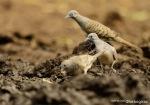 Perkutut Jawa | Zebra Dove | Geopelia striata
