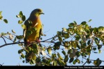 Punai Siam | Orange-breasted Green Pigeon | Treron bicincta