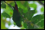 Serindit Jawa | Yellow-throated Hanging Parrot | Loriculus pusillus