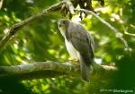 Elang alap Kelabu | Grey Goshawk | Accipiter novaehollandiae