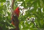 Nuri Bayan | Eclectus Parrot | Eclectus roratus