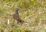 Perkutut Loreng | Barred Dove | Geopelia maugei