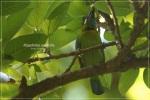 Takur Tenggeret |  Blue-eared Barbet | Megalaima australis