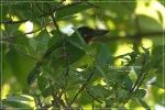 Takur Tulung-tumpuk | Black-banded Barbet | Megalaima javensis
