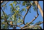 Takur Ungkut-ungkut | Coppersmith Barbet | Megalaima Haemacephala