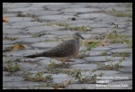 Tekukur Biasa   Spotted Dove   Streptopelia chinensis