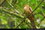 Uncal Buau | Ruddy Cuckoo Dove | Macropygia emiliana