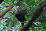 Uncal Loreng | Barred Cuckoo Dove | Macropygia unchall