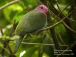 Walik Kepala-ungu | Pink-headed Fruit Dove | Ptilinopus porphyreus