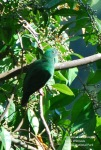 Walik Kembang | Black-naped Fruit Dove | Ptilinopus melanospila