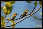Kirikkirik Senja   Chestnut-headed Bee-eater   Merops leschenaulti