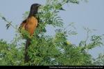 Bubut Alang-alang | Lesser Coucal | Centropus bengalensis