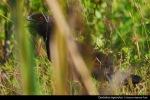 Bubut Jawa | Javan Coucal | Centropus nigrorufus