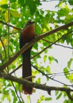 Kadalan Birah | Chestnut-breasted Malkoha | Rhamphococcyx curvirostris