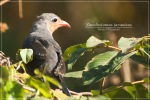 Kadalan Kembang | Red-billed Malkoha | Zanclostomus javanicus