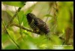 Kangkok Ranting | Oriental Cuckoo | Cuculus saturatus-imm