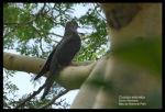 Kangkok Ranting | Oriental Cuckoo | Cuculus saturatus