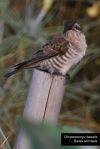 Kedasih Australia | Horsfeld's Bronze Cuckoo | Chrysococcyx basalis