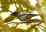 Kepudang Sungu Gunung | Sunda Cuckooshrike | Coracina larvata