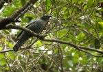 Kepudang Sungu Sumba | Pale-shouldered Cicadabird | Coracina dohertyi