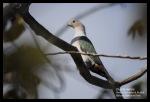 Pergam Hijau | Green Imperial Pigeon | Ducula aenea