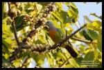 Punai Gading | Pink-necked Green Pigeon | Treron vernans