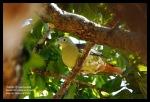 Punai Penganten   Grey-cheeked Green Pigeon   Treron griseicauda